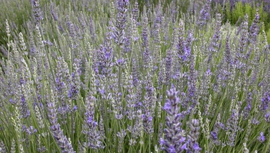 lavendar plants garden guides
