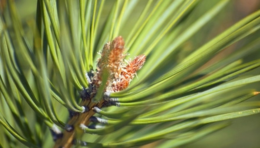 Pines keep their needle-like leaves all year round.