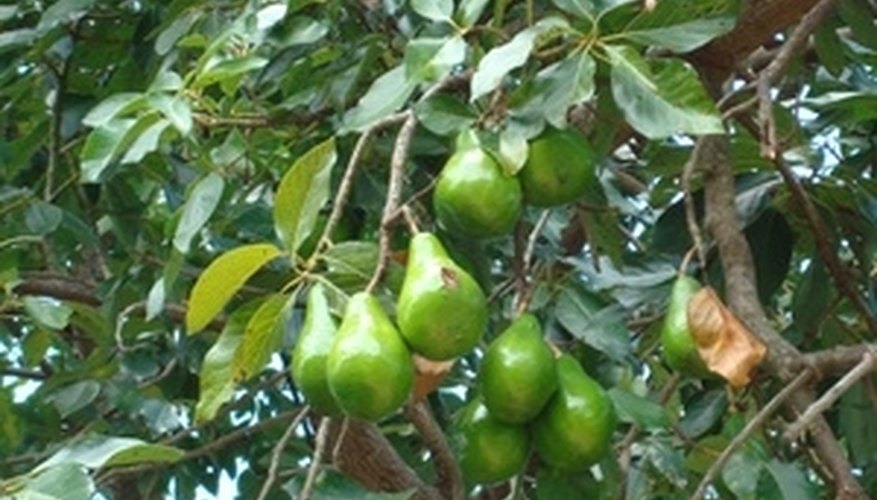 Avocado fruit growing on a tree.