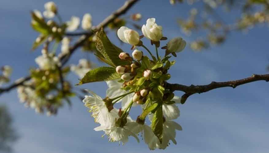Prune cherry trees when they are young to help them remain healthy as they mature.