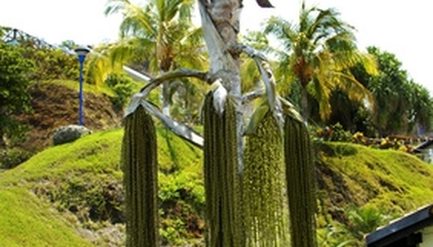 Make money from your mature palm trees.