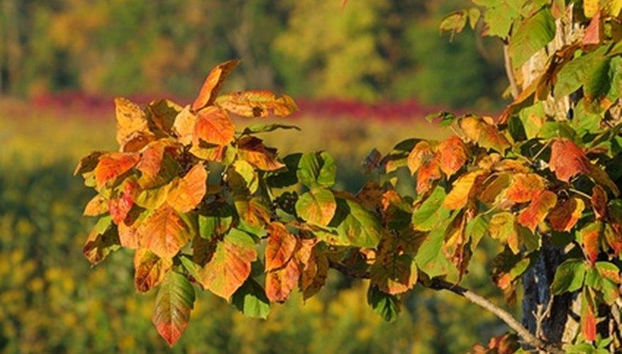 Poison ivy leaves might turn turn yellow or red in early fall.