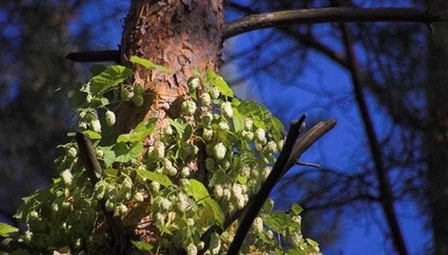 Hops can grow up a variety of trellises, and it even grows up trees and other nontraditional vertical supports.