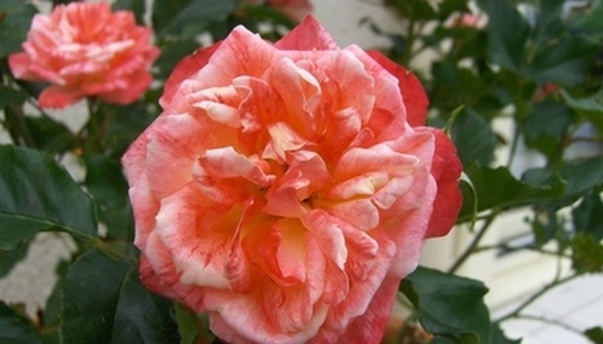 A rose bush that doesn't bloom might not be getting sufficient nutrition.