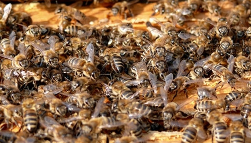 Safely remove beehives from your attic.