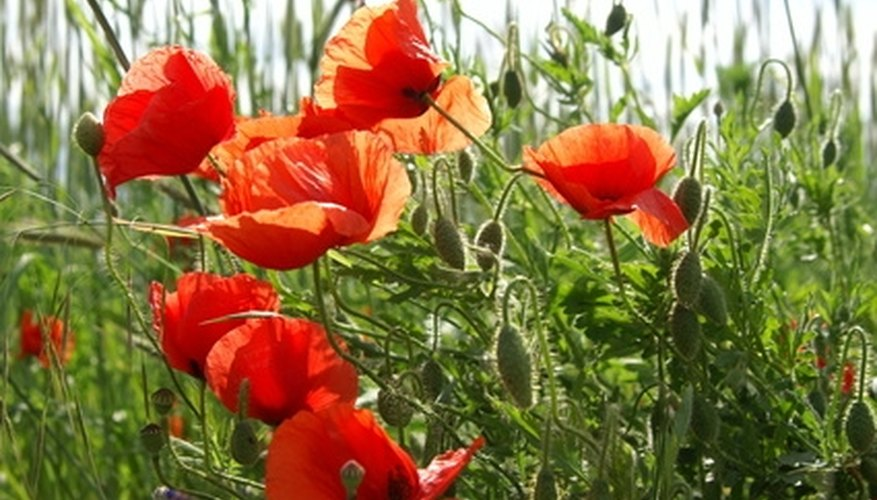 Poppies are a colorful, natural-looking flower.