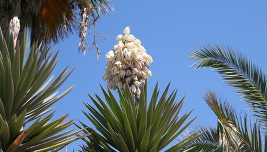 The yucca plant has a dense flowerhead with white or green flowers.