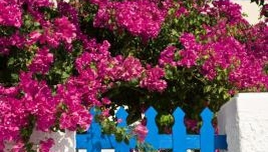 Mature bougainvillea vines make showy and colorful garden features in tropical climates.