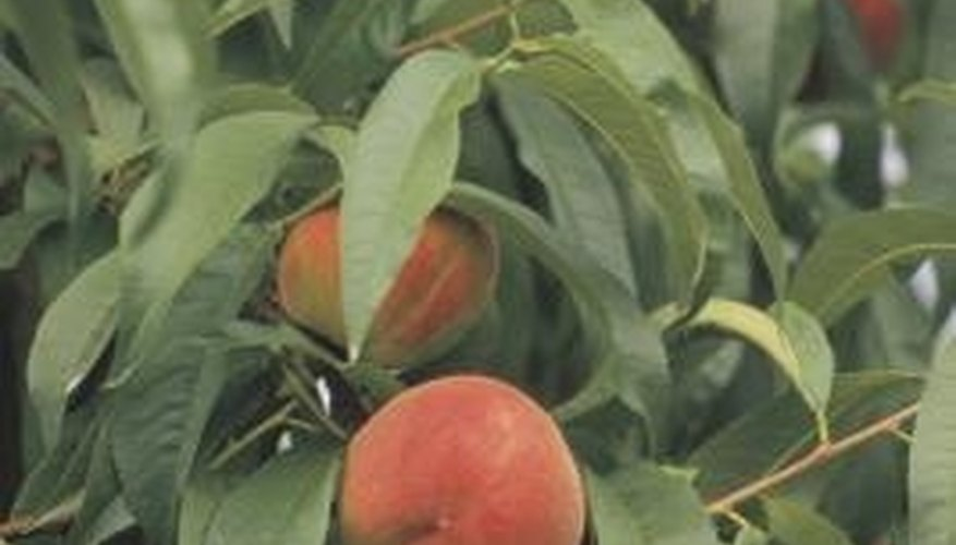 Peach trees need well-drained clay or sandy soil.