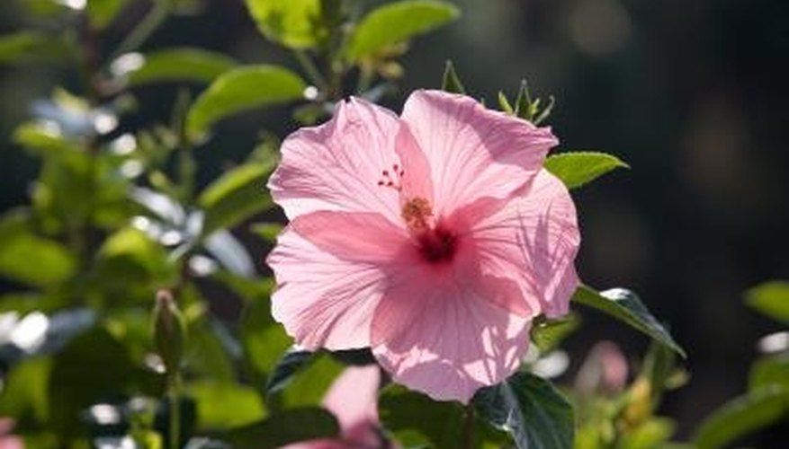 Hibiscus plants can be adapted to grow as a tree, reaching a maximum height of 15 feet.