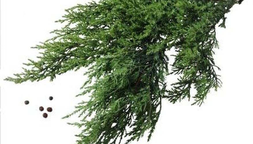 When fully grown, a juniper has berries and lush leaves.