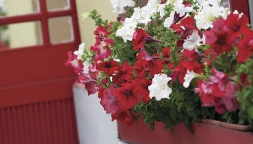 Petunias thrive in pots; bring them indoors during cold weather.