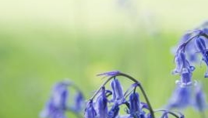 English bluebells look delicate, but they are a sturdy woodland plant.