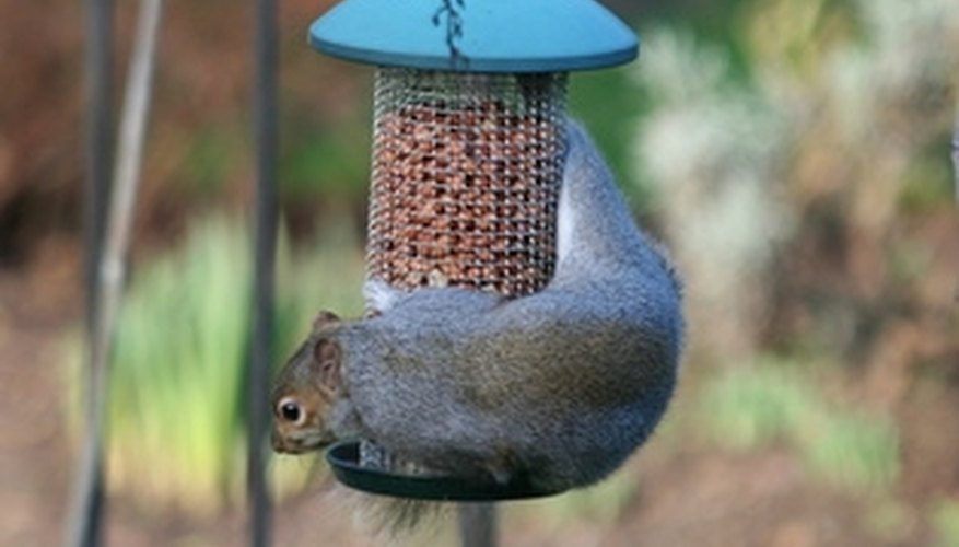Squirrels easily steal bird food from unprotected feeders.