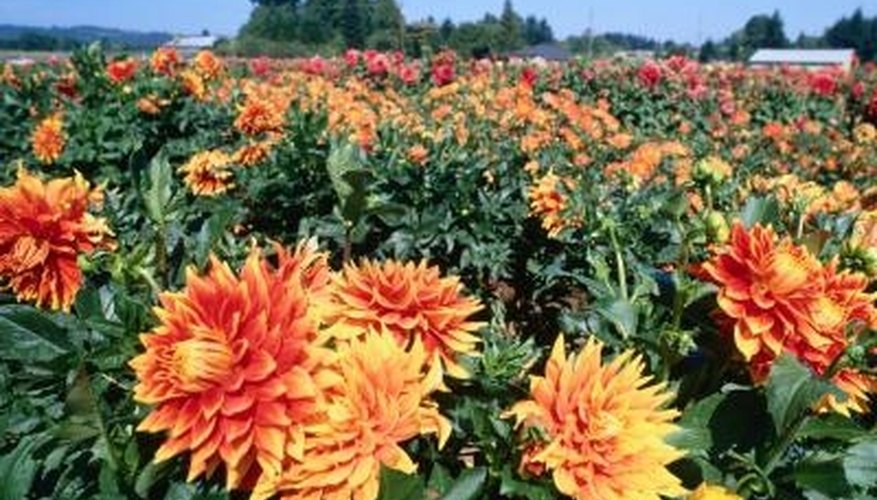 Some people grow fields of dahlias for cut flower arrangements.