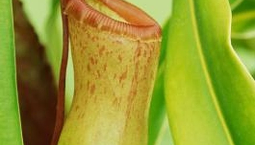 The trap of the pitcher plant contains a barrier rim.