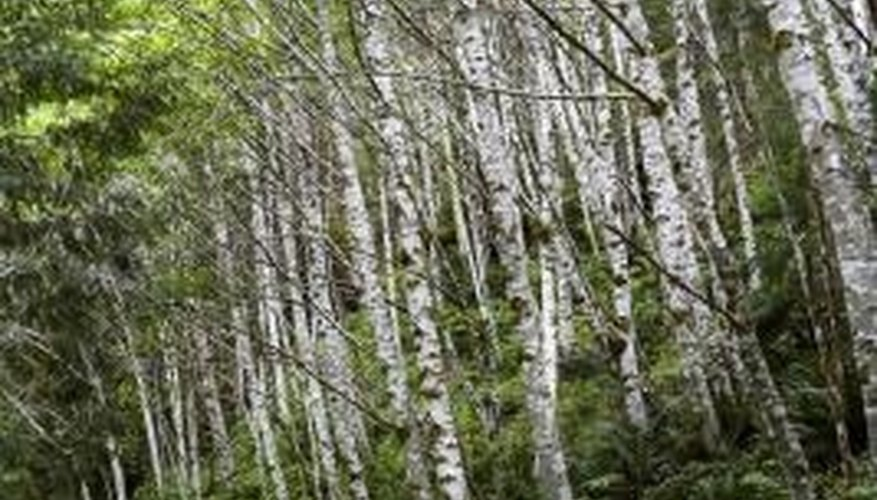 Birch trees play host to several caterpillars.