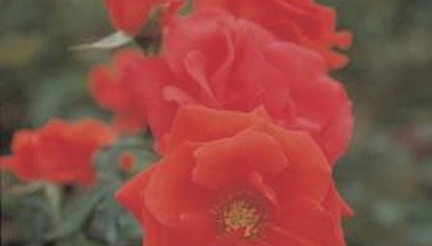 Composted manure helps produce healthy, beautiful roses.