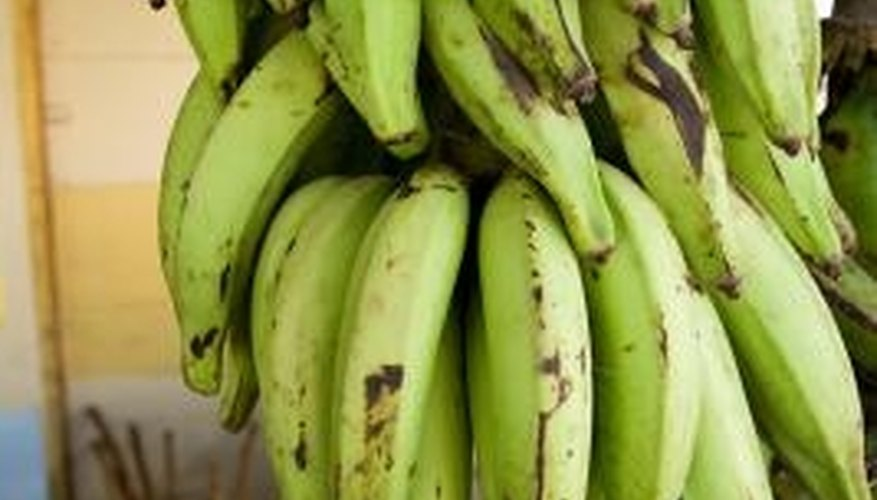 The plantain is thought to be a relative of the banana.