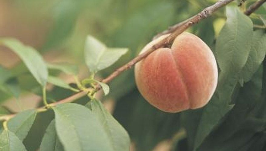 Correct soil pH can help peach trees to thrive.