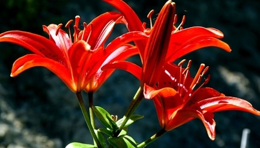 Asiatic lilies bloom through most of the summer.