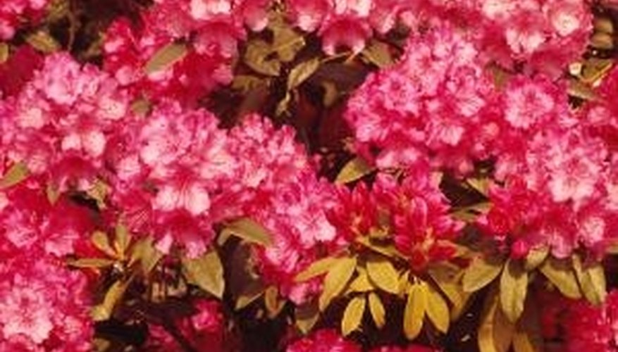 Varieties of rhododendrons grow in USDA hardiness zones 5-9.