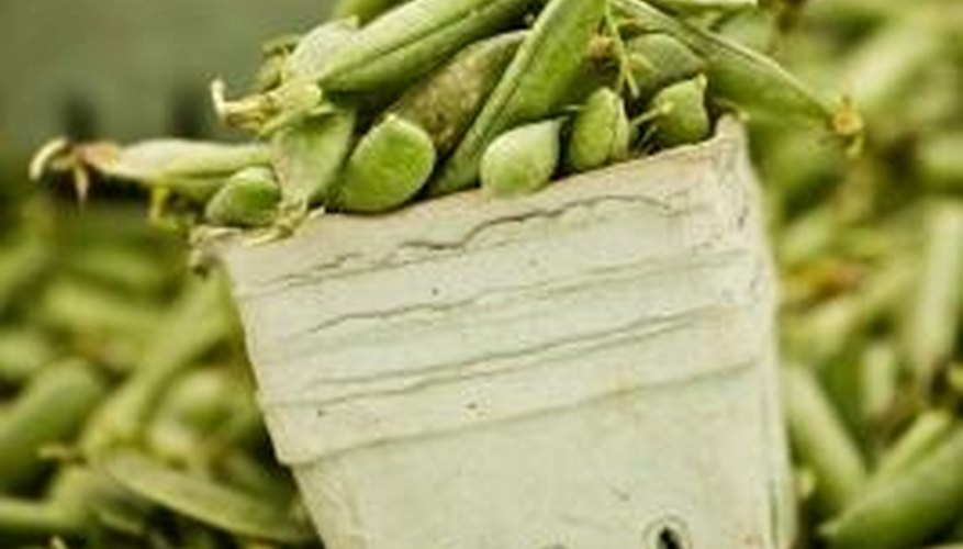 Healthy green bean plants should have green leaves, stems and stalks.