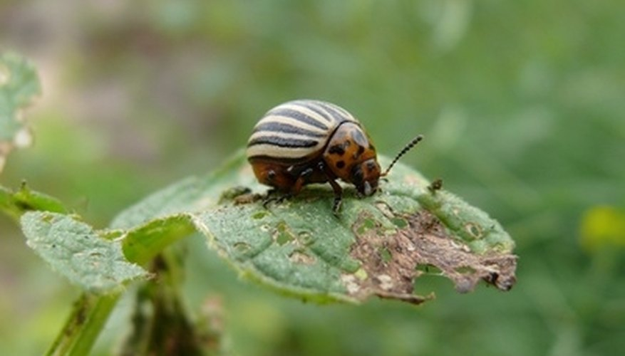 The Colorado potato beetle is difficult to control.