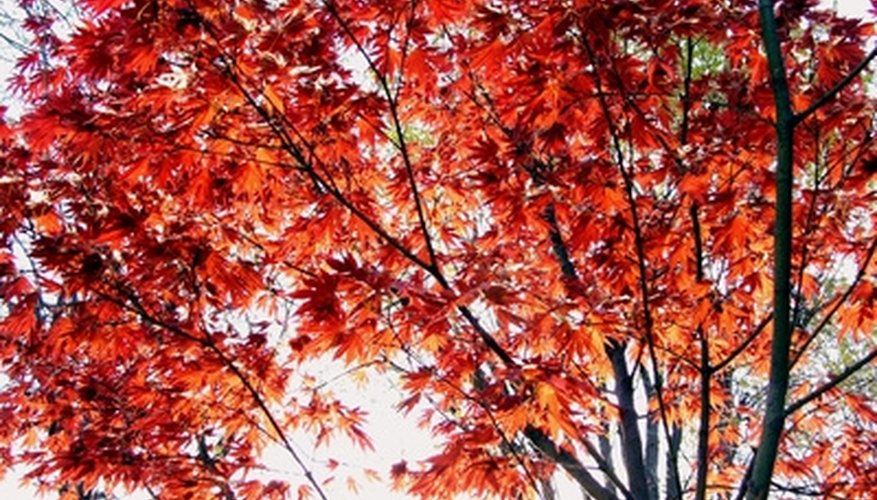 Red maple trees have especially vibrant fall foliage colors.
