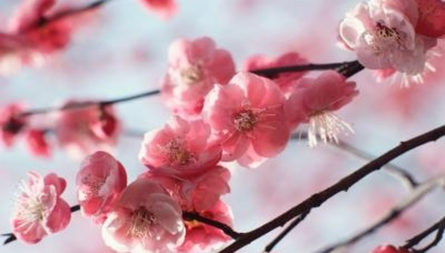 Japanese flowering cherry trees require little maintenance once established.
