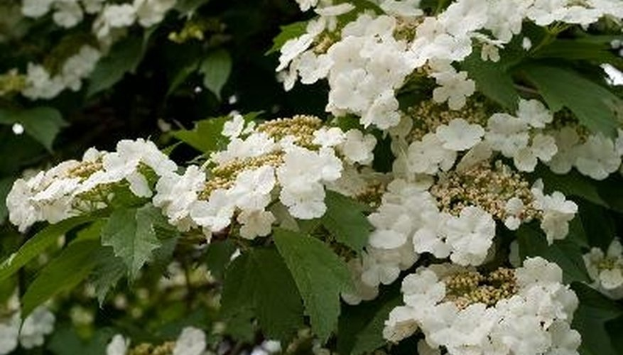 Different viburnum species withstand an array of temperatures.
