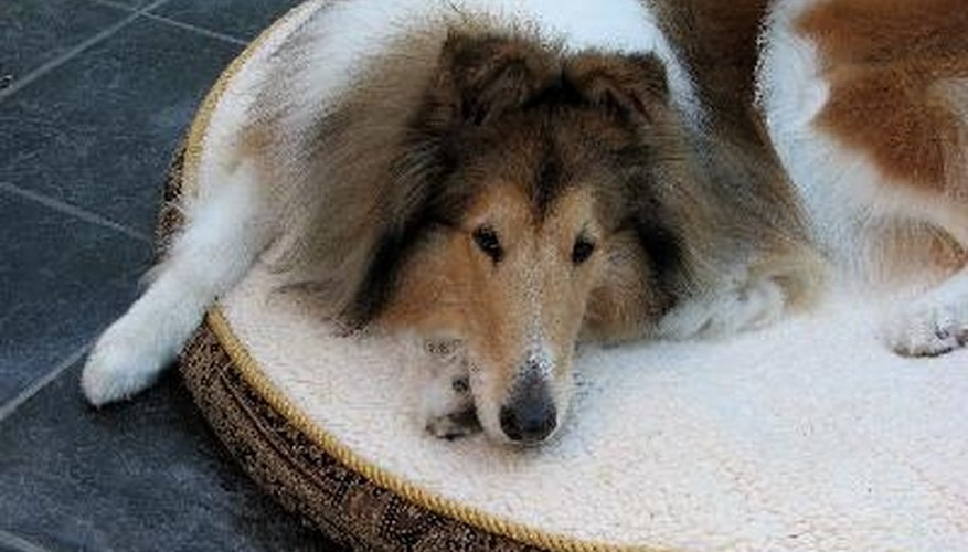 Treat your dog's bed to prevent flea infestations.