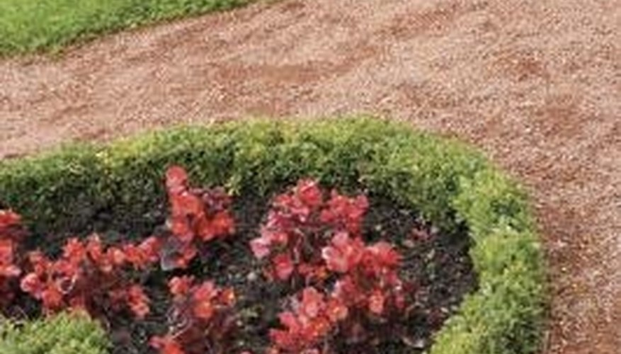 Boxwoods are nice as borders or hedges.