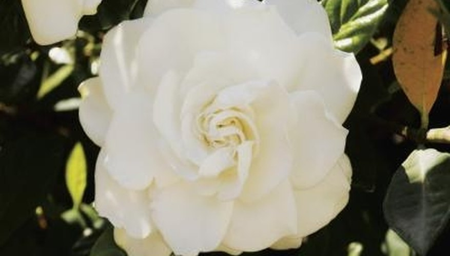 The stunning white flower of a gardenia.