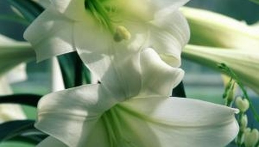 Transplanting Easter lilies allows you to enjoy them every year.