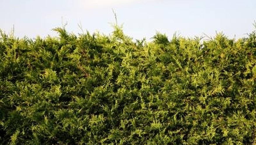 The spruce spider mite favors juniper shrubs and hedges.
