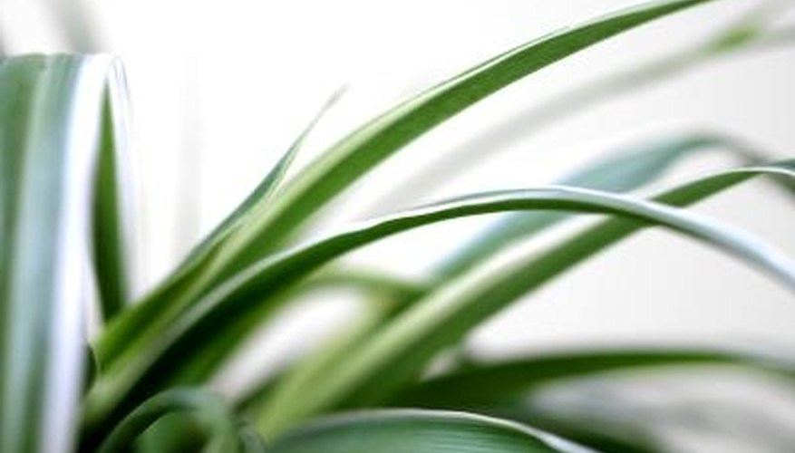 Spider plants are easy houseplants to grow.