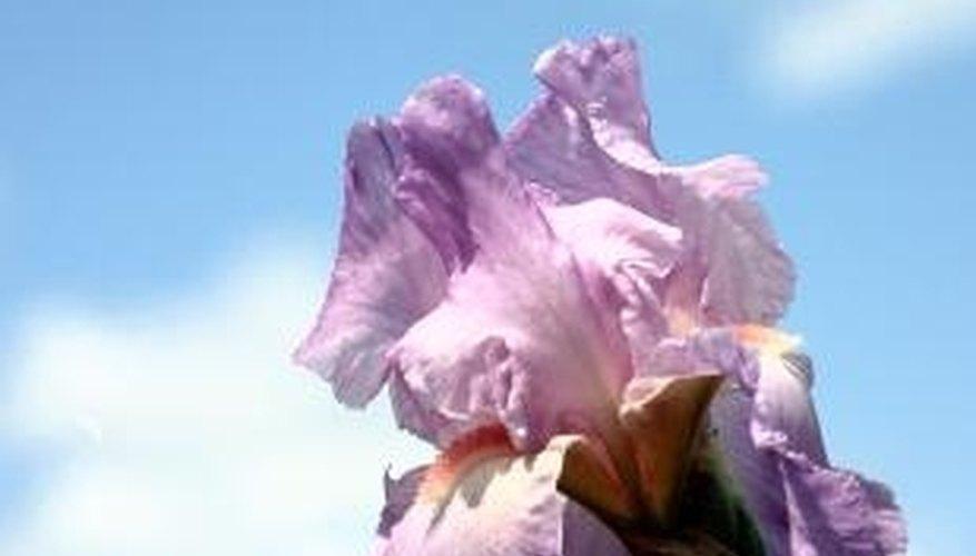 how to grow iris sibirica from seed