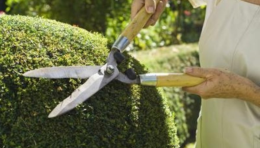 Garden shears are an appropriate tool for pruning a fire bush.