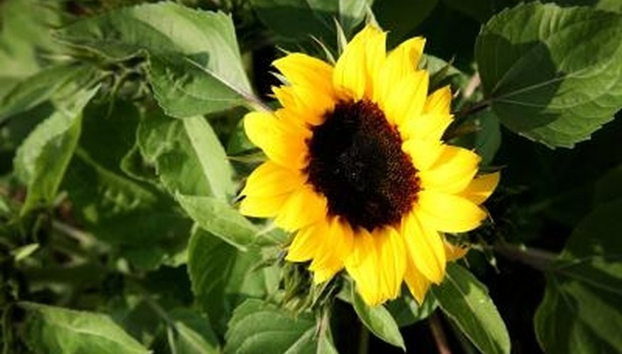 You can dry sunflowers and harvest the seeds for birds.