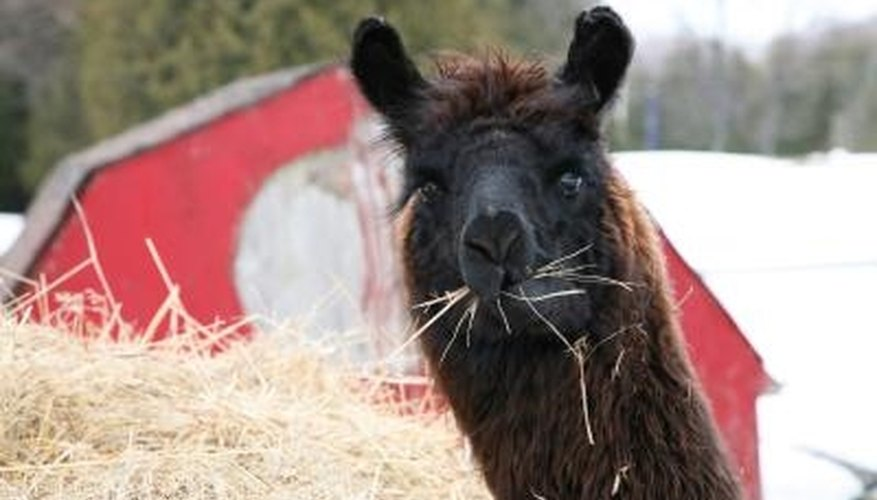 Alpacas provide a rich, fine wool prized for yarn production, and their manure can be turned into helpful garden compost.