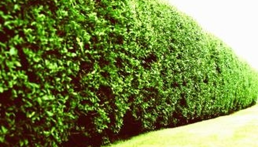 Tall hedge plants for privacy garden guides for Vegetation for privacy
