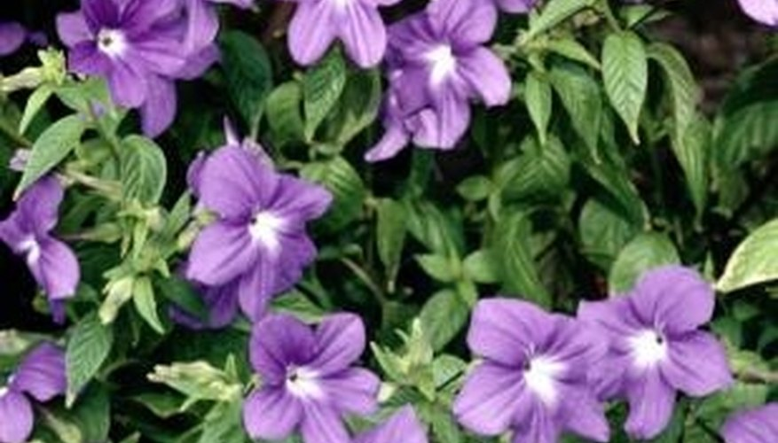 Periwinkle carpets the ground with single-petaled flowers with a central disc.