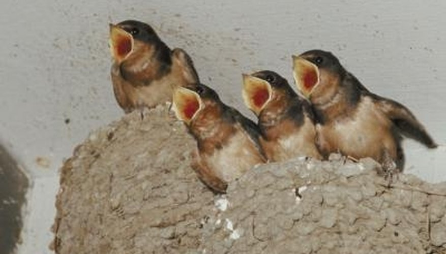 Swallow nests can create a mess.