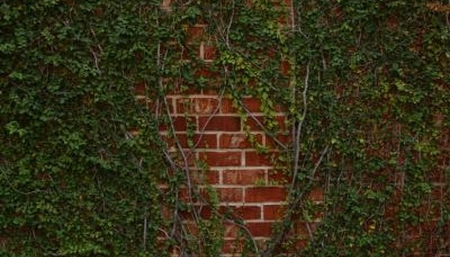 Ivy thrives on shaded portions of brick walls.