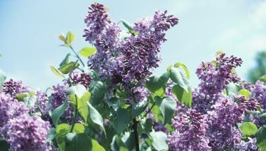 Lilac blooms are a sign of consistent spring warmth and escape from frost.