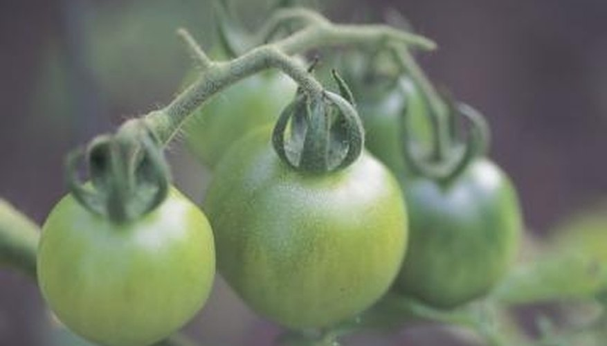 Green tomatoes should be picked before frost kills the plant.