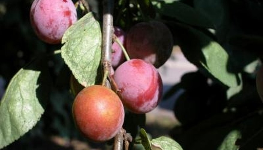 The sap on plum tree is a sign of pests.