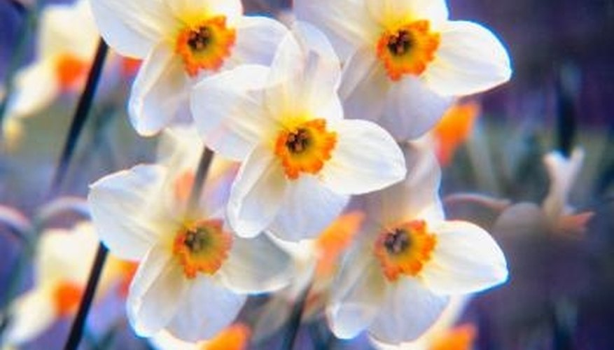 Orange and white are common daffodil colors.
