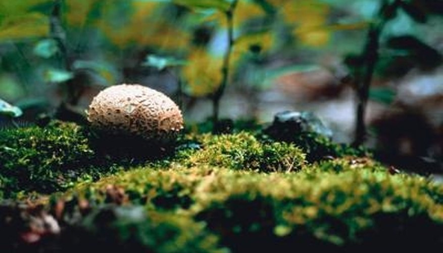 Puffball mushrooms are named for the cloud of brown spores they release when mature.
